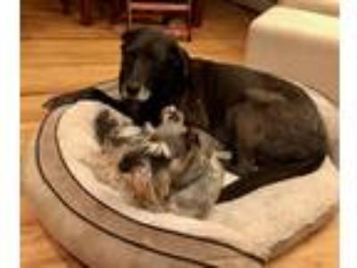 Adopt Chama a Black Labrador Retriever / Weimaraner / Mixed dog in Silver