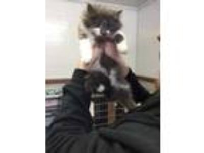 Adopt Sebastian a Gray or Blue Domestic Longhair / Domestic Shorthair / Mixed