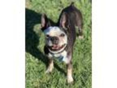 Adopt Harley a Black - with White Boston Terrier / Mixed dog in Irving