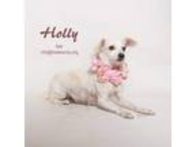 Adopt Holly a White - with Tan, Yellow or Fawn Terrier (Unknown Type