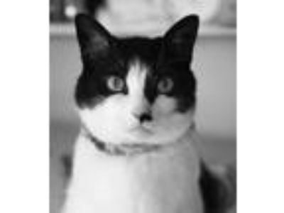 Adopt Missy a Black & White or Tuxedo Domestic Shorthair / Mixed cat in