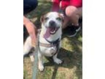 Adopt Merlin a White - with Brown or Chocolate Corgi dog in Columbus