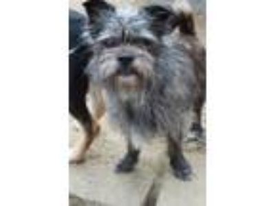 Adopt Magnum in NH a Cairn Terrier, Brussels Griffon