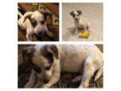 Adopt Vida a Cattle Dog