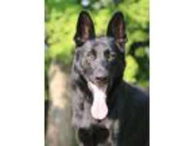 Adopt Jeter a German Shepherd Dog