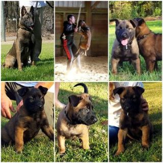 Belgian Malinois PUPPY FOR SALE ADN-53998 - Knpv bloodline Belgian Malinois puppies
