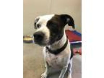 Adopt Bella a White American Pit Bull Terrier / Dalmatian / Mixed dog in
