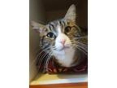 Adopt Anakin a Domestic Short Hair