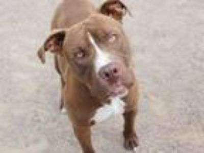 Adopt LELAND a American Staffordshire Terrier, Mixed Breed