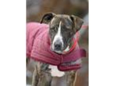 Adopt Memphis a Brindle - with White Pit Bull Terrier / Shepherd (Unknown Type)
