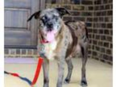 Adopt BEAUTIFUL BROWNIE a Catahoula Leopard Dog