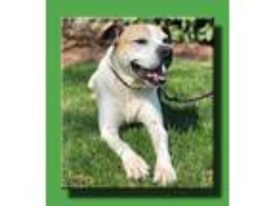 Adopt Buster a White - with Brown or Chocolate Boxer / Cattle Dog / Mixed dog in