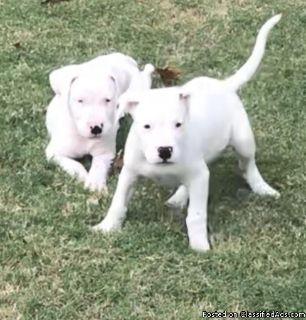 Boubou manis male and female Dogo Argentino puppies available for adoption please contact via text or call for more details (530)-436