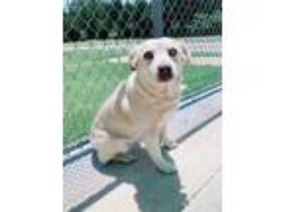 Adopt Jolene a Tan/Yellow/Fawn Australian Cattle Dog / Labrador Retriever /