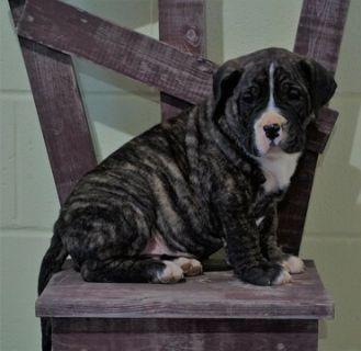 Presa Canario PUPPY FOR SALE ADN-113631 - UKC Registered Presa Canario For Sale Fresno OH