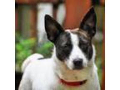 Adopt Dixie Chic a Tricolor (Tan/Brown & Black & White) Jack Russell Terrier dog