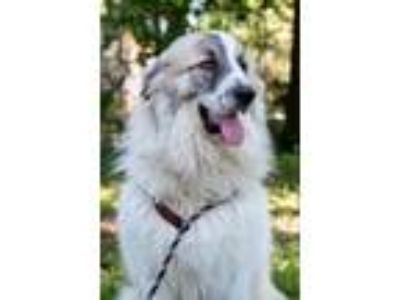 Adopt Biggie a White - with Gray or Silver Great Pyrenees / Anatolian Shepherd /