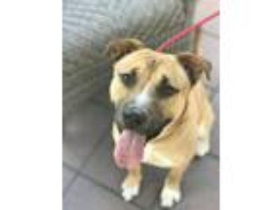 Adopt Gulliver a American Pit Bull Terrier / Shepherd (Unknown Type) / Mixed dog