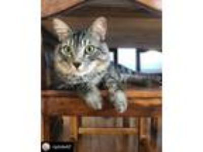 Adopt Rocky a Brown Tabby Maine Coon (medium coat) cat in Los Angeles