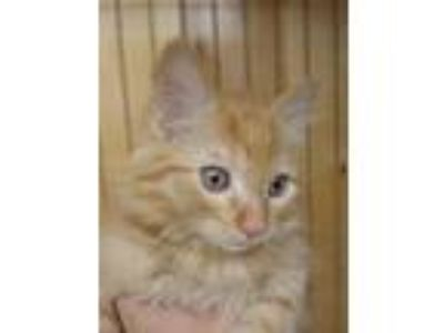Adopt Kristen a Orange or Red Domestic Mediumhair / Mixed cat in Bauxite