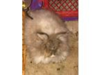 Adopt English Angora a Angora Rabbit