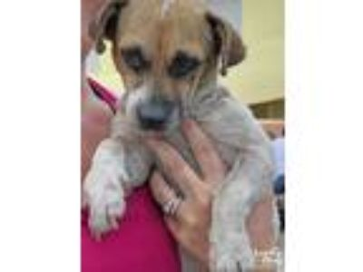 Adopt Chachi a White - with Brown or Chocolate Pug / Beagle / Mixed dog in