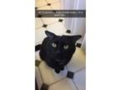 Adopt Rocky a All Black Domestic Shorthair / Mixed cat in Chadwicks