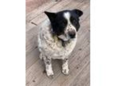 Adopt Tucker a White - with Black Australian Cattle Dog / Mixed dog in Payson