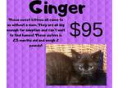 Adopt Ginger a All Black Domestic Shorthair (short coat) cat in Decatur