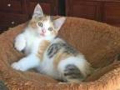 Adopt Ladybug a White Domestic Shorthair / Domestic Shorthair / Mixed cat in