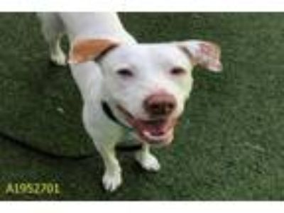 Adopt DIAMOND a Labrador Retriever, Pointer