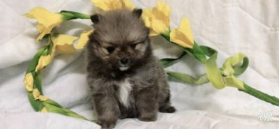 Pomeranian PUPPY FOR SALE ADN-108254 - TEA CUP POMERANIAN MALE