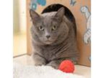 Adopt MARSHA a Gray or Blue Domestic Shorthair / Mixed (short coat) cat in