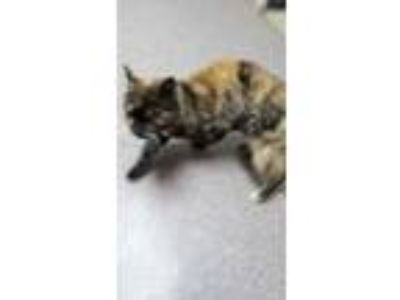 Adopt Crystal a Tan or Fawn Domestic Shorthair / Domestic Shorthair / Mixed cat
