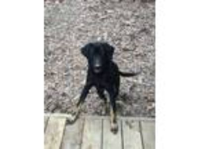 Adopt Natchez a Labrador Retriever, Shepherd