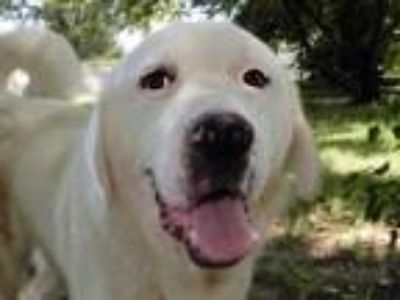 Adopt Nash 5899 a Anatolian Shepherd, Golden Retriever