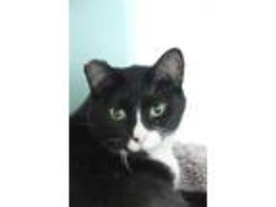 Adopt Maestro a All Black Domestic Shorthair / Domestic Shorthair / Mixed cat in