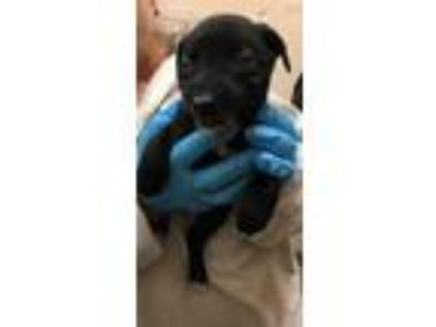 Adopt Deliah a Labrador Retriever / Mixed dog in Birmingham, AL (25465444)