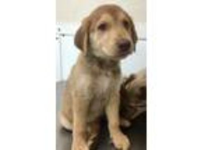 Adopt 41728673 a Tan/Yellow/Fawn Catahoula Leopard Dog / Labrador Retriever /