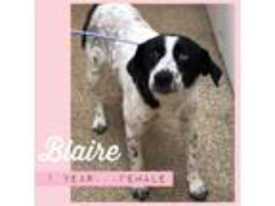Adopt Blaire a Merle Mixed Breed (Medium) / Mixed dog in Ft.