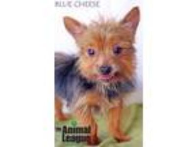 Adopt Blue Cheese a Yorkshire Terrier