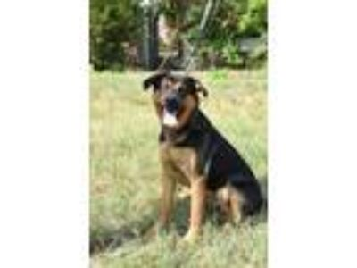 Adopt Memphis a Black Shepherd (Unknown Type) / Mixed dog in New Castle