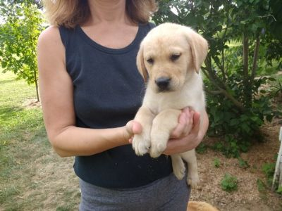 Labrador Retriever PUPPY FOR SALE ADN-88197 - AKC Yellow Labrador Puppies