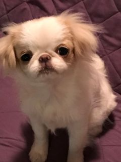 Japanese Chin PUPPY FOR SALE ADN-91080 - Upcoming Females