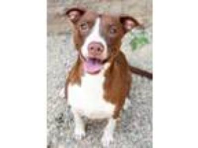 Adopt Diamond a Pit Bull Terrier, Mixed Breed