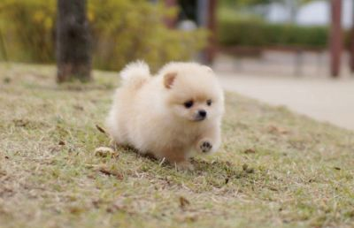 Teacup Pure Breed Pomeranian