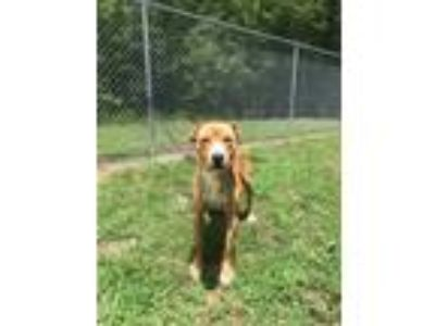 Adopt Marco a Tan/Yellow/Fawn American Pit Bull Terrier / Mixed dog in