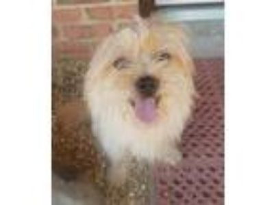 Adopt Grady a Tan/Yellow/Fawn Silky Terrier / Mixed dog in Phenix City