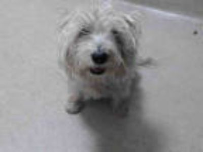 Adopt a White Westie, West Highland White Terrier / Mixed dog in Pasadena