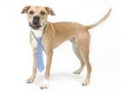 Adopt TRIPP a Tan/Yellow/Fawn - with White American Pit Bull Terrier / Mixed dog